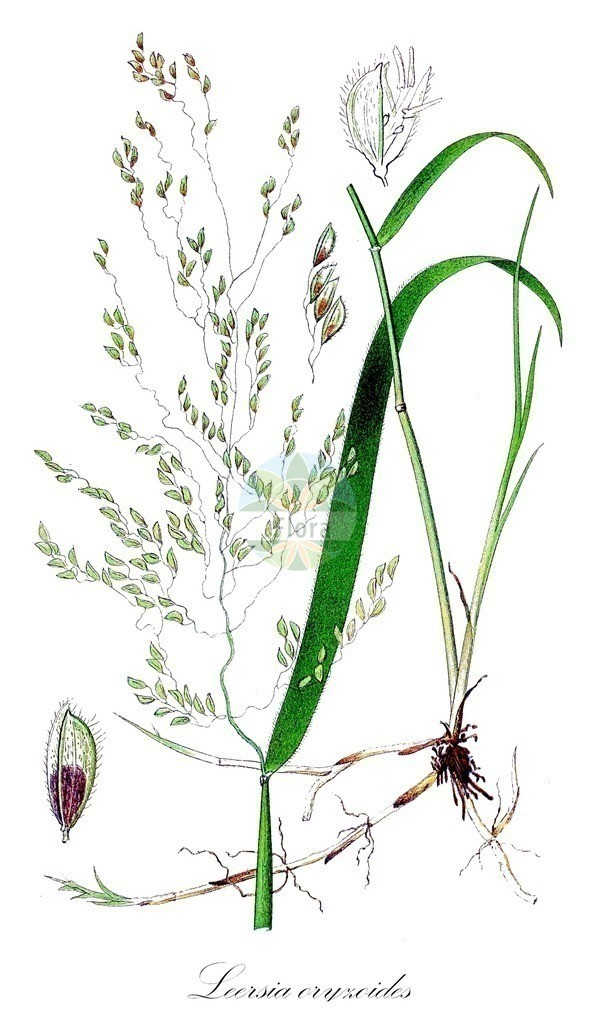 Historical drawing of Leersia oryzoides (Cut-grass)   Historical drawing of Leersia oryzoides (Cut-grass) showing leaf, flower, fruit, seed