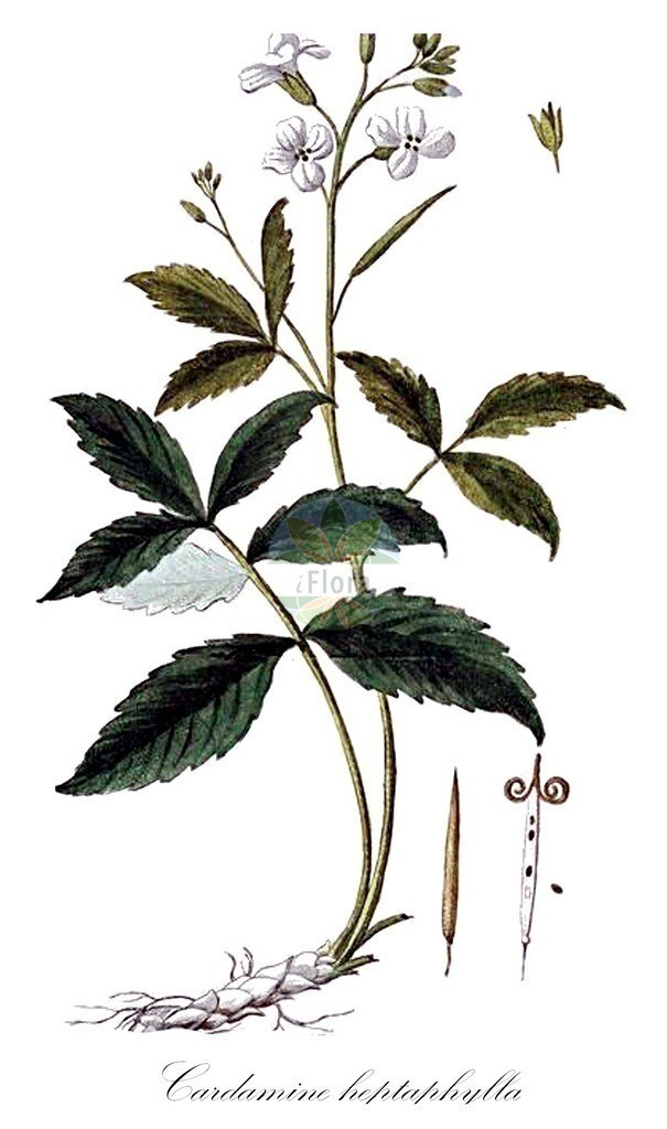 Historical drawing of Cardamine heptaphylla (Pinnate Coralroot) | Historical drawing of Cardamine heptaphylla (Pinnate Coralroot) showing leaf, flower, fruit, seed