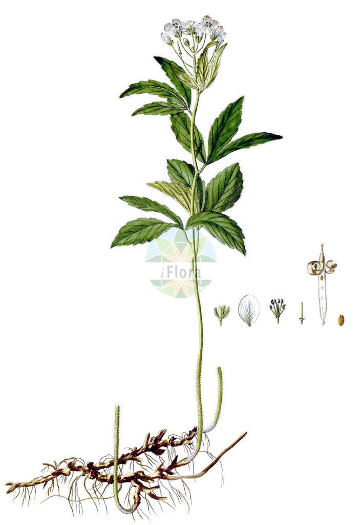 Cardamine waldsteinii   Historische Abbildung von Cardamine waldsteinii. Das Bild zeigt Blatt, Bluete, Frucht und Same. ---- Historical Drawing of Cardamine waldsteinii.The image is showing leaf, flower, fruit and seed.