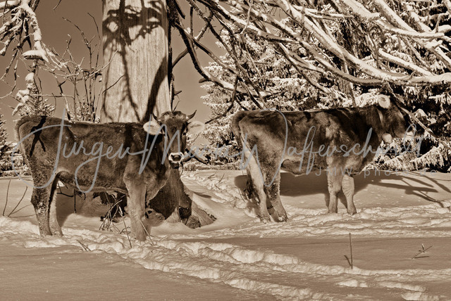 1083415_Kuh_Winter_JMW_sepia