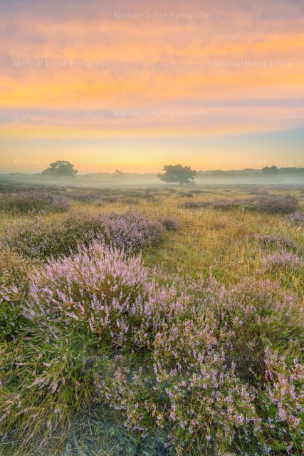 Kurz vor Sonnenaufgang in der Heide | Morgenstimmung in der Westruper Heide bei Haltern am See im Münsterland. Die Heide blüht und mit dem Morgennebel entsteht eine wunderbare Stimmung.