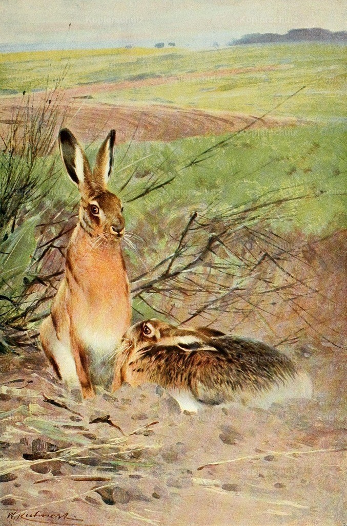 Kuhnert_ F.W. (1865-1926) - Wild Life of the World 1916 - Hare