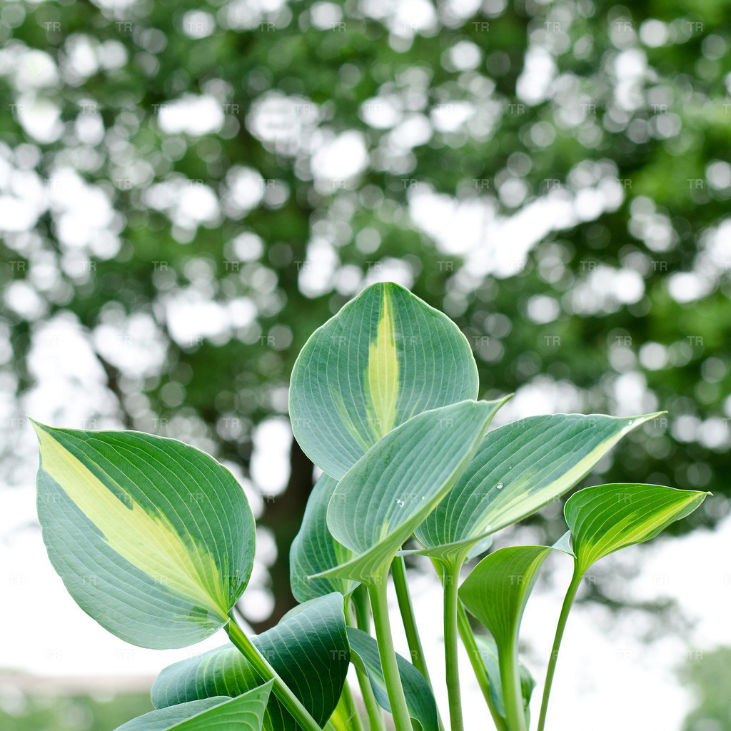 Hosta 'Touch of Class' - Funkie