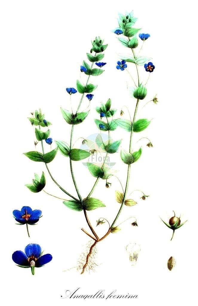 Historical drawing of Anagallis foemina (Blue Pimpernel) | Historical drawing of Anagallis foemina (Blue Pimpernel) showing leaf, flower, fruit, seed