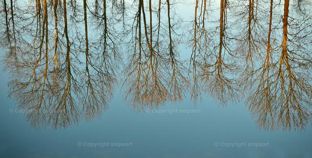 Spiegelnde Bäume im Wasser   In einer ruhigen Wasseroberfläche spiegelnde Bäume.
