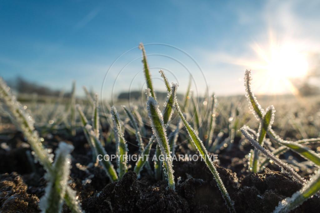 20161204-DSC01328-ret | junge Getreidepflanzen im Winter - AGRARMOTIVE