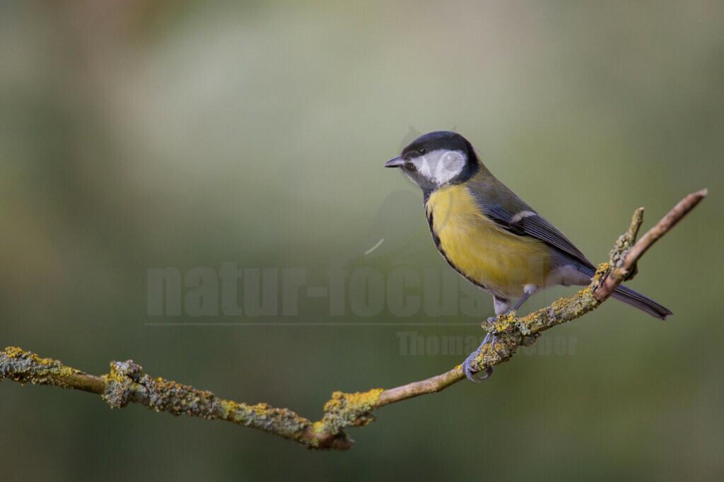 20140209_124631    Die Kohlmeise ist eine Vogelart aus der Familie der Meisen. Sie ist die größte und am weitesten verbreitete Meisenart in Europa. Ihr Verbreitungsgebiet erstreckt sich jedoch bis in den Nahen Osten und durch die gemäßigte Zone Asiens bis nach Fernost.