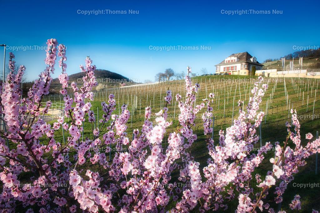 DSC_2341 | Mandelblüte im Rebmuttergarten in Heppenheim, Weinregion Hessische Bergstraße,