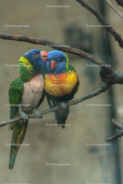Love Birds | ein Paar bunte Rainbow Lorikeets sitzt auf einem Ast