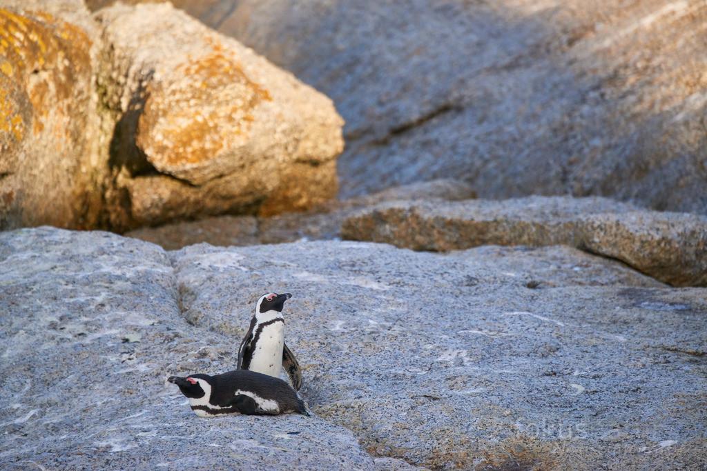Brillenpinguine auf Felsen | Ein Paar Brillenpinguine relaxt auf einem Felsen.