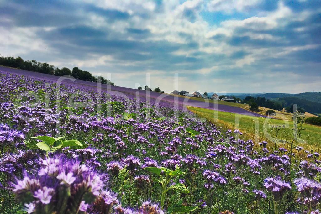 Blühende Landschaften in der Eifel | Phacelia Blüte soweit das Auge reicht - ein Fest für Bienen, Hummeln und andere nützliche Insekten. Fotografiert bei Daun in der Eifel (Vulkaneifel)