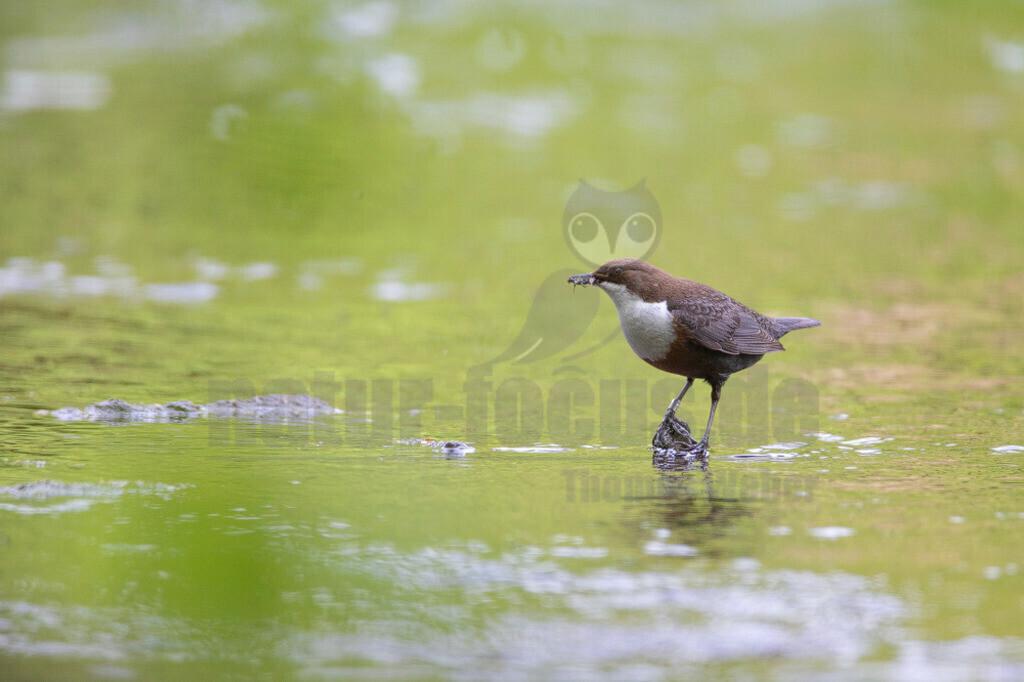 20200612-663A0003 (16) | Die Wasseramsel oder Eurasische Wasseramsel ist die einzige auch in Mitteleuropa vorkommende Vertreterin der Familie der Wasseramseln. Der etwa starengroße, rundlich wirkende Singvogel ist eng an das Leben entlang schnellfließender, klarer Gewässer gebunden.