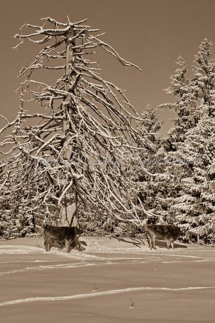 1083419_Kuh_Winter_JMW_sepia