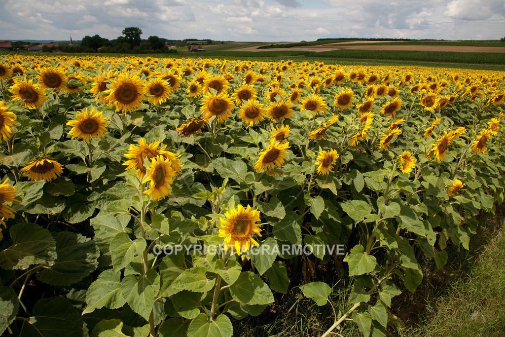 20090711-IMG_3692 | blühende Sonnenblumen im Sommer - AGRARMOTIVE Bilder aus der Landwirtschaft