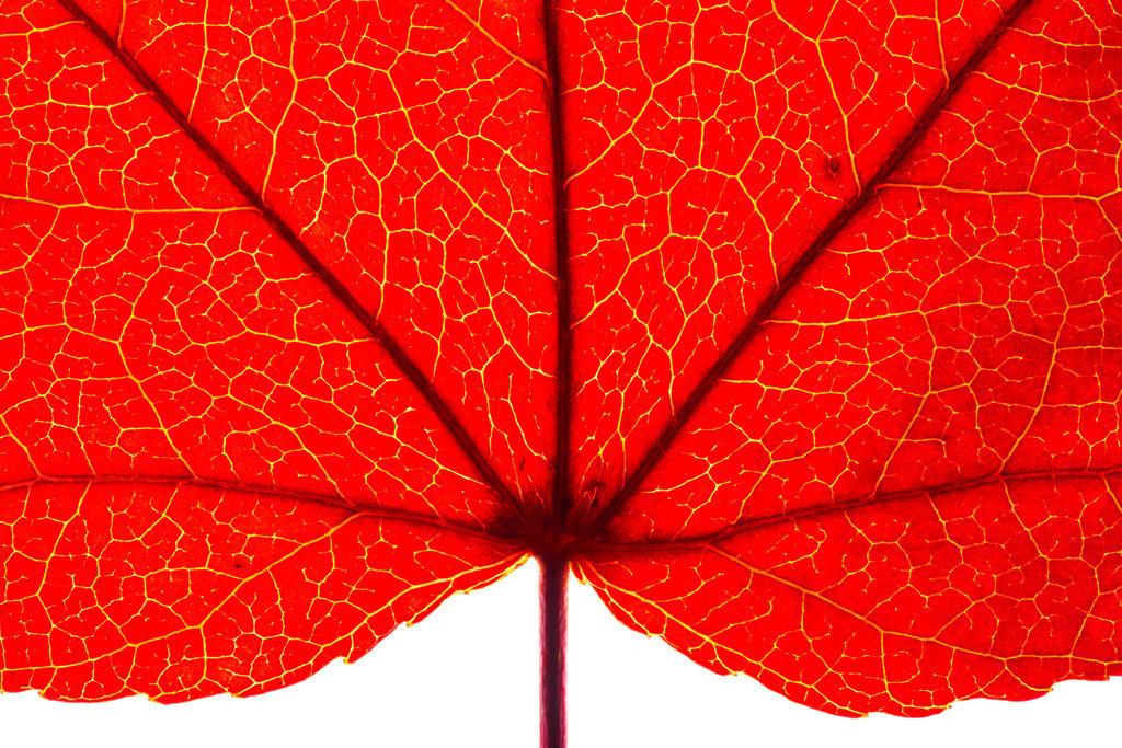 JT-120220-010   Blatt des Liquidamber, Gattung der Amberbäume, (Liquidambar styraciflua), herbstliche Färbung,