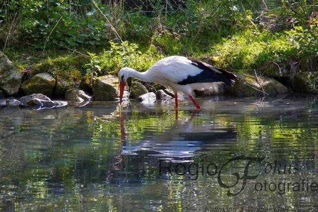 Storch | Storch am Teich