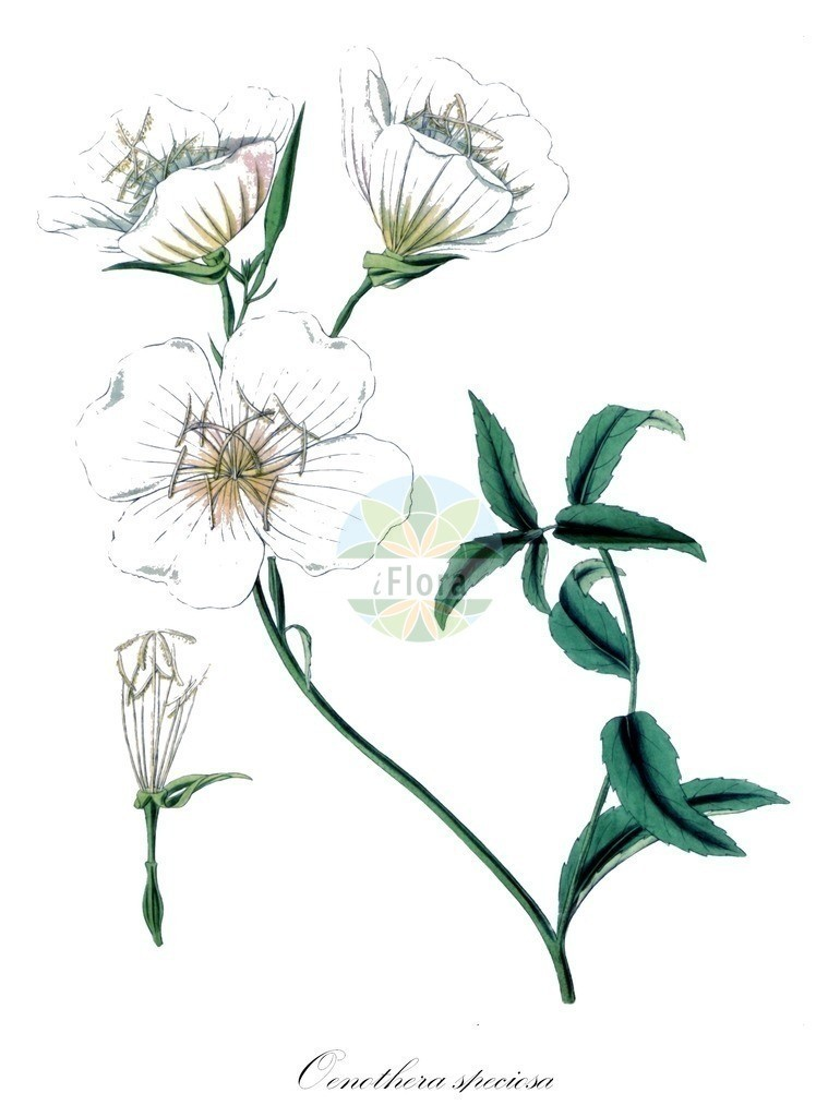 Historical drawing of Oenothera speciosa (Evening-primroses) | Historical drawing of Oenothera speciosa (Evening-primroses) showing leaf, flower, fruit, seed