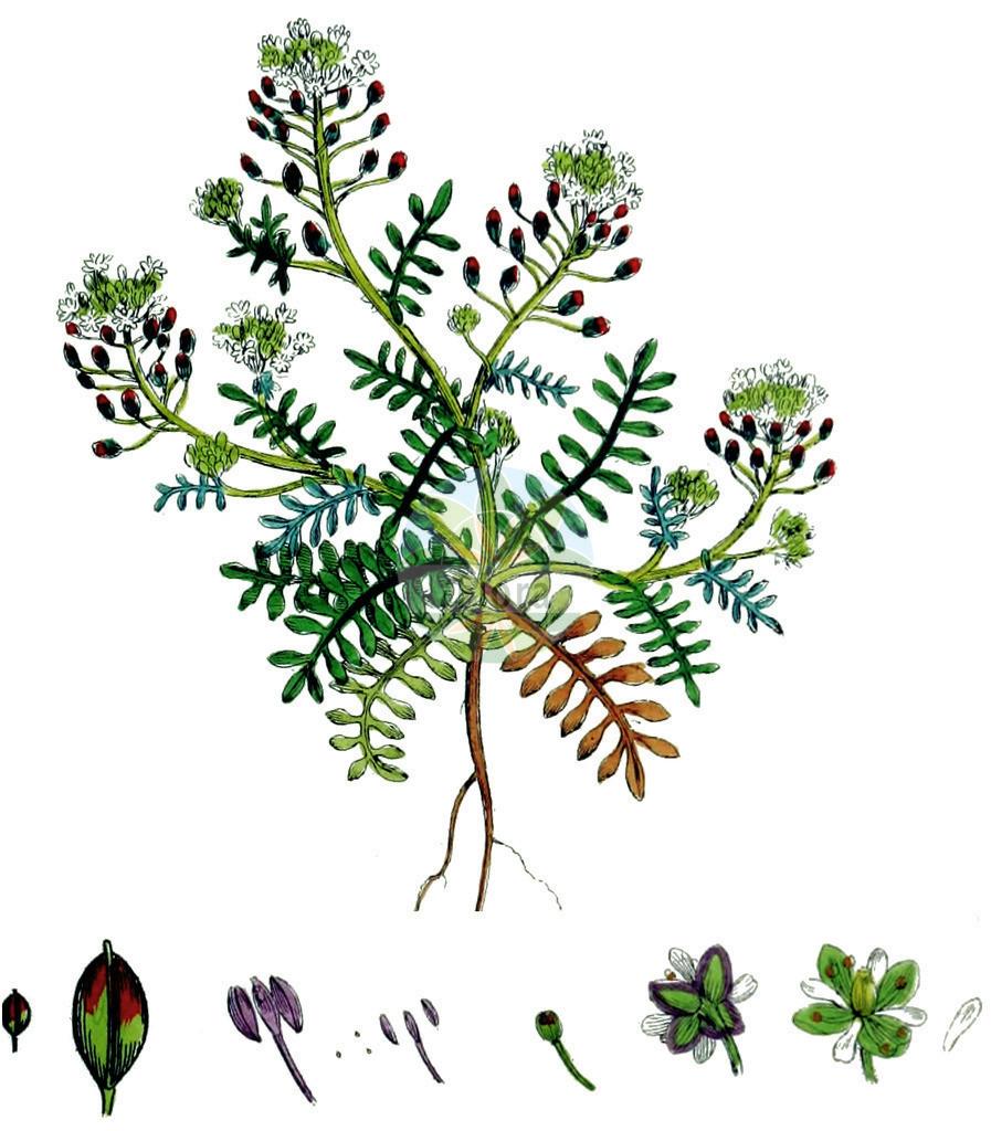 Hornungia petraea (Kleine Felskresse - Hutchinsia) | Historische Abbildung von Hornungia petraea (Kleine Felskresse - Hutchinsia). Das Bild zeigt Blatt, Bluete, Frucht und Same. ---- Historical Drawing of Hornungia petraea (Kleine Felskresse - Hutchinsia).The image is showing leaf, flower, fruit and seed.