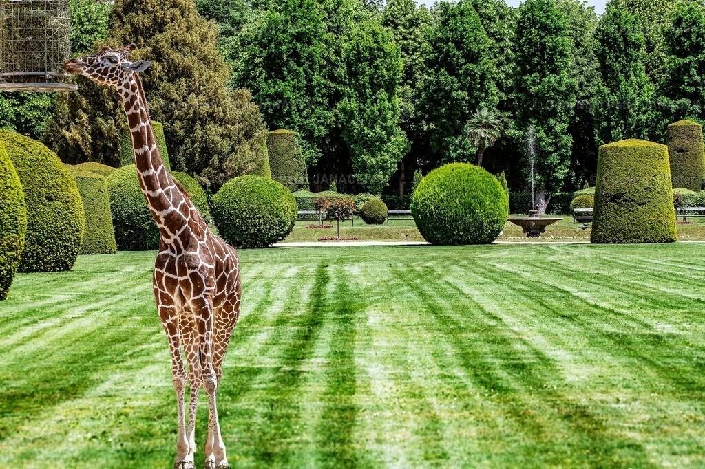 Giraff in Paradise