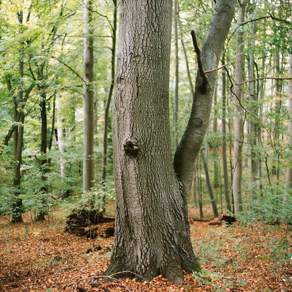 Buche Fauler Ort | Buche am Faulen Ort im Melzower Forst, Teil des Biosphärenreservats Schorfheide-Chorin