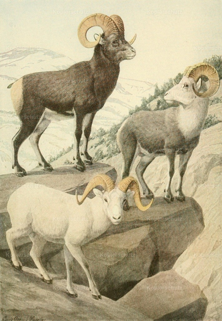 Fuertes_ L.A. (1874-1927) - Wild Animals of N. America 1918 - Mountain Sheep