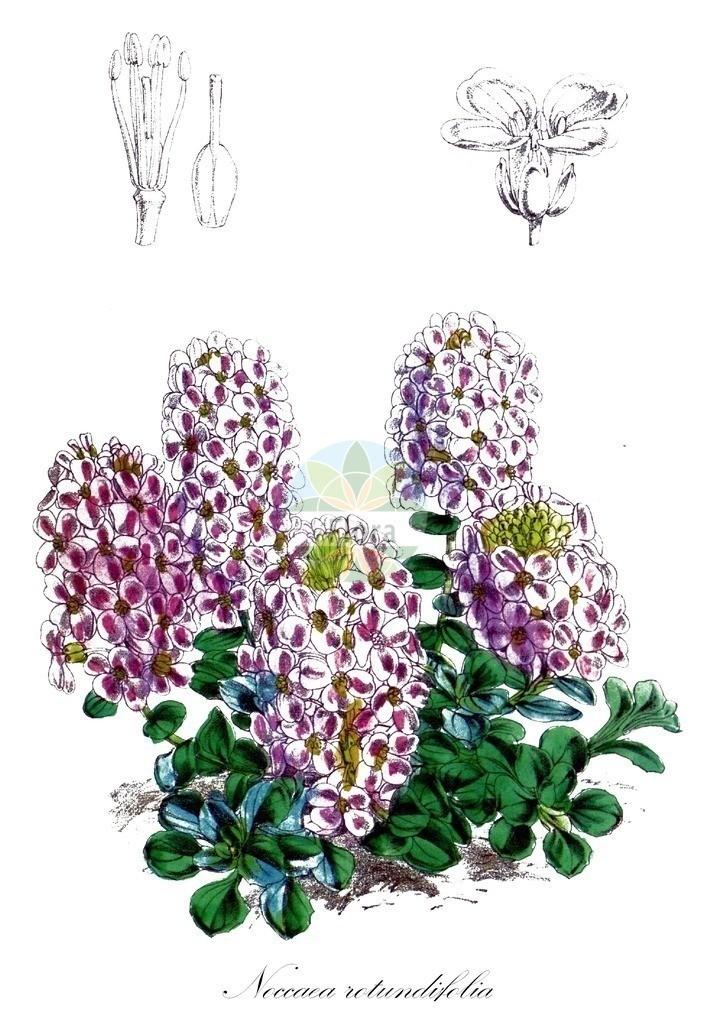 Historical drawing of Noccaea rotundifolia (Round-leaved Penny-Cress) | Historical drawing of Noccaea rotundifolia (Round-leaved Penny-Cress) showing leaf, flower, fruit, seed