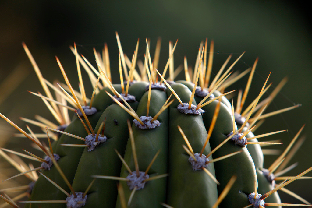 Kaktus | Spitze Stacheln eines Saguaro Kaktus.