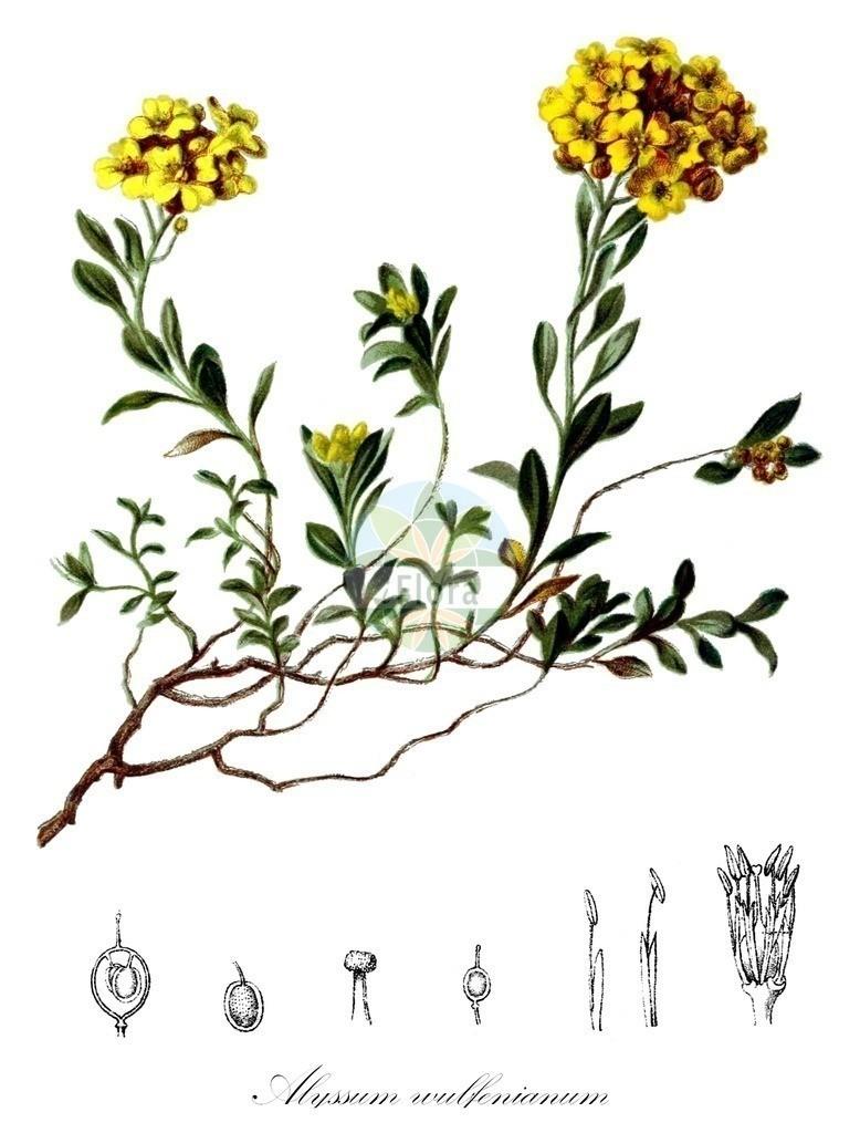 Historical drawing of Alyssum wulfenianum (Alison) | Historical drawing of Alyssum wulfenianum (Alison) showing leaf, flower, fruit, seed