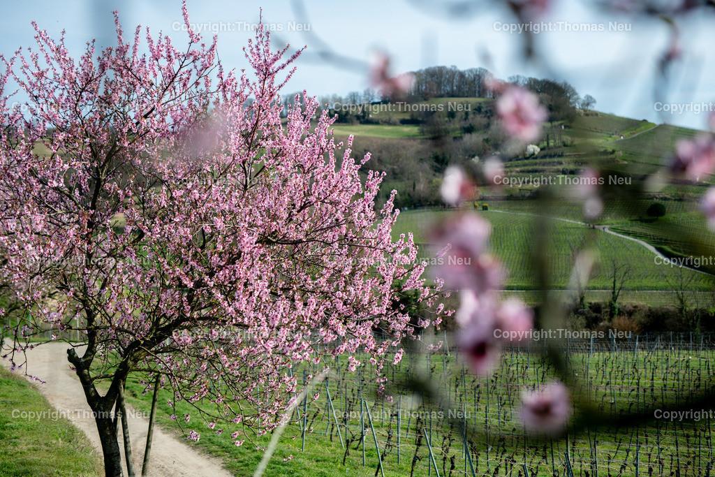 DSC_4783 | Bensheim, Weinberge zwischen Bensheim und Heppenheim, es ist die schönste Jahreszeit an der Bergstraße, die Mandelblüte verzaubert, die Weinberge laden zum bei warmen Tepmeraturen zum Spaziergang ein,  Bild: Thomas Neu