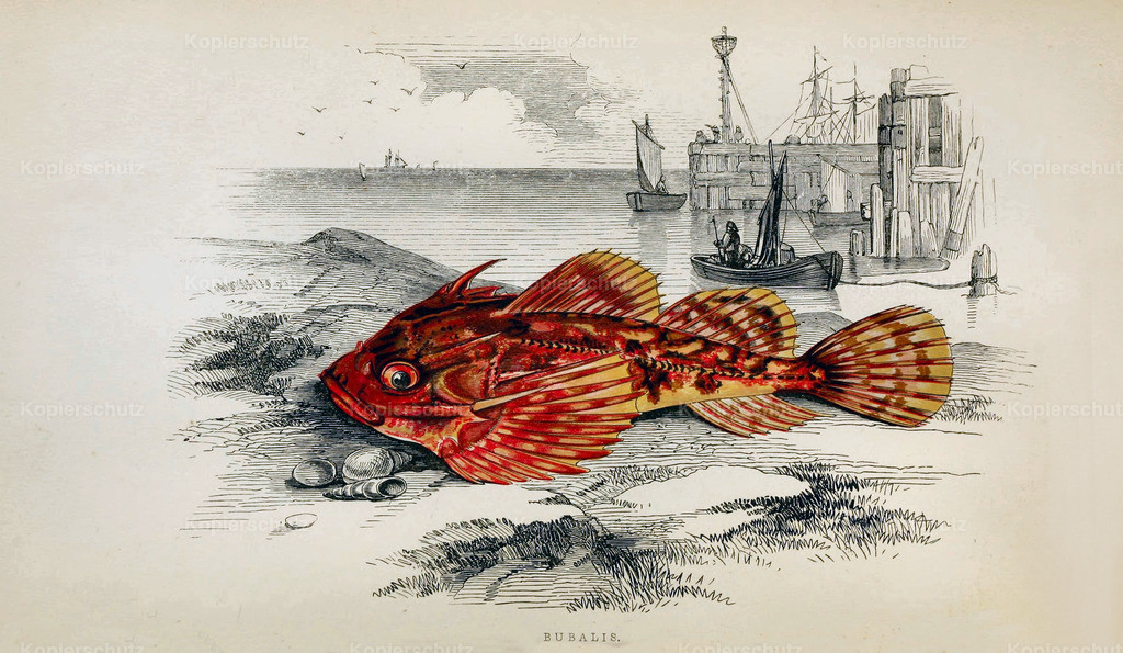 A-History-of-the -Fishes- of- the- British-Islands-Fische-1862-1866 (24)