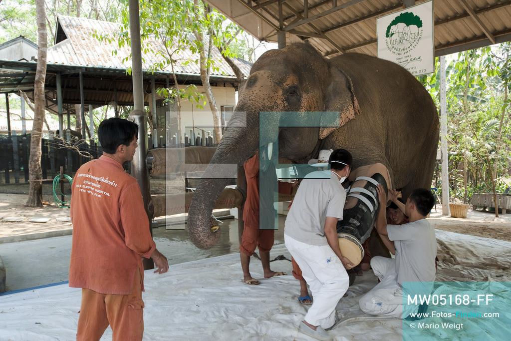 MW05168-FF   Thailand   Lampang   Reportage: Krankenhaus für Elefanten   Angestellte von Prostheses Foundation und Tierpfleger passen die neue Prothese am Bein der Elefantenkuh Motala an.    ** Feindaten bitte anfragen bei Mario Weigt Photography, info@asia-stories.com **