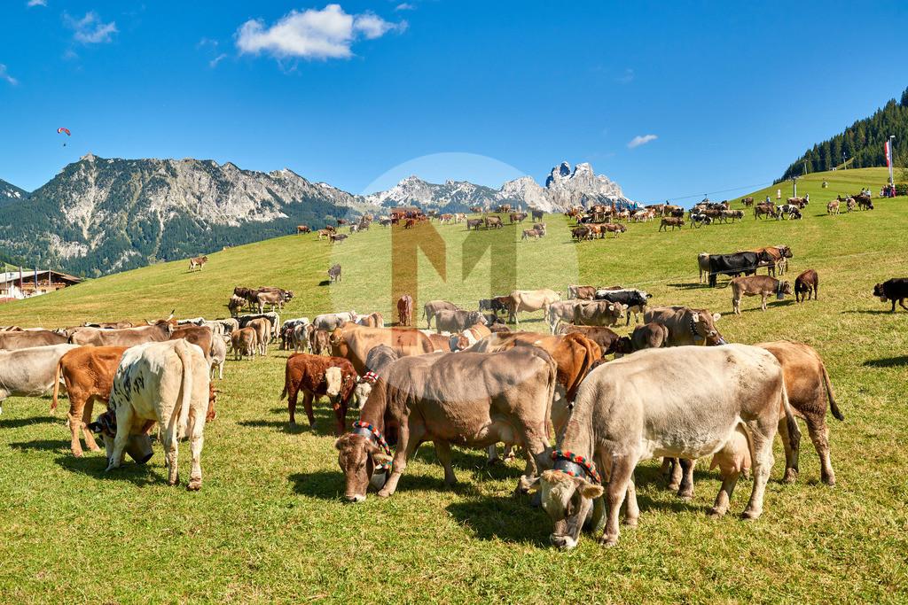 Almabtrieb Tannheim, Tannheimertal, Tirol, Österreich