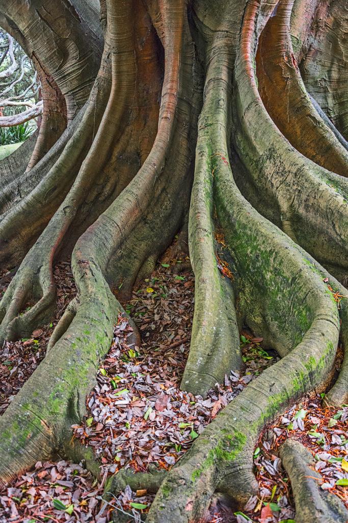 Wurzeln eines Feigenbaums, Auckland, Neuseeland | Best. Nr. nz_2015_01_00496.  Einen Anwendungsvorschlag finden Sie hier: https://shop.soulimages.eu/img/ctamtc (Großraumbüro). Weitere Einrichtungsbeispiele sind in der Galerie
