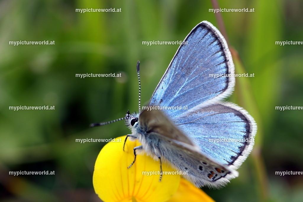 Polyommatus eros-005