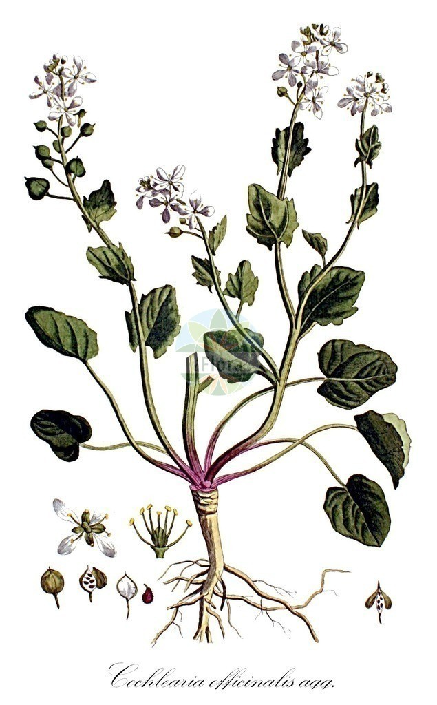 Historical drawing of Cochlearia officinalis agg. (Common Scurvygrass)   Historical drawing of Cochlearia officinalis agg. (Common Scurvygrass) showing leaf, flower, fruit, seed