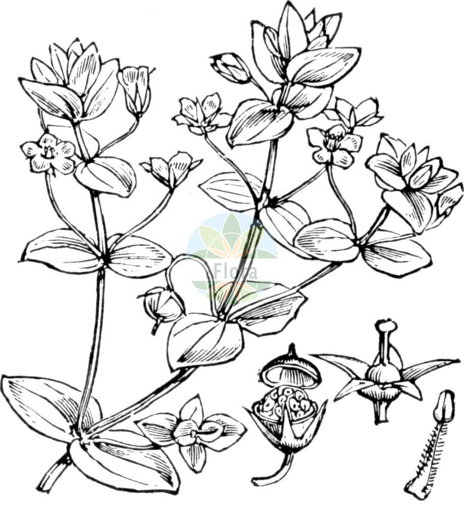 Anagallis arvensis (Acker-Gauchheil - Scarlet Pimpernel) | Historische Abbildung von Anagallis arvensis (Acker-Gauchheil - Scarlet Pimpernel). Das Bild zeigt Blatt, Bluete, Frucht und Same. ---- Historical Drawing of Anagallis arvensis (Acker-Gauchheil - Scarlet Pimpernel).The image is showing leaf, flower, fruit and seed.