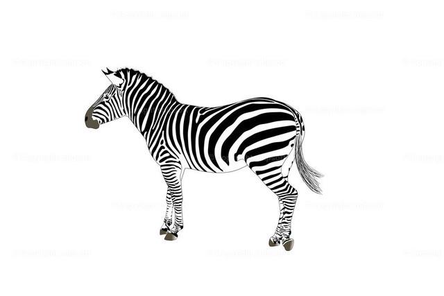 Zebra (Illustration) | Ein schwarzweiß gestreiftes Zebra als Illustration über weißem Hintergrund