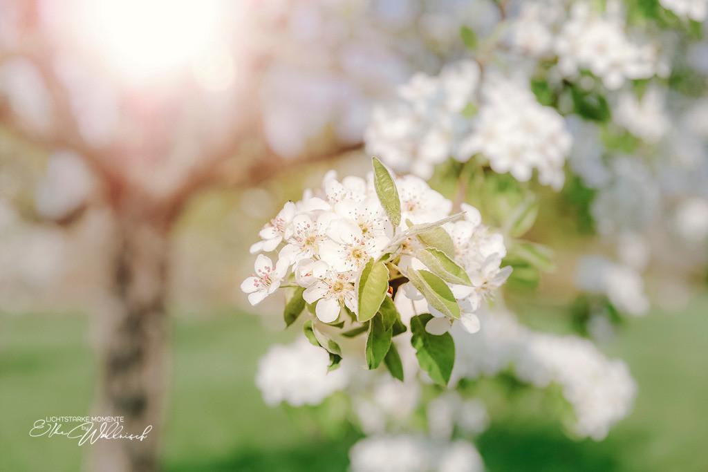 Apfelblüte | auf dem Land