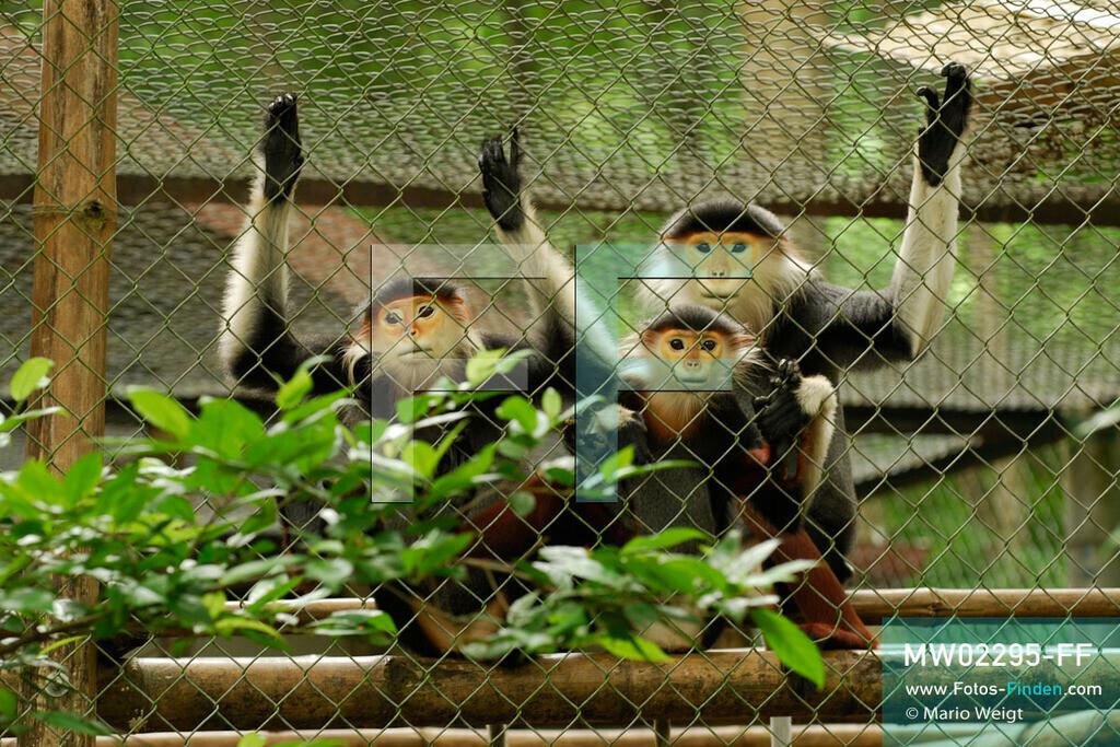 MW02295-FF | Vietnam | Provinz Ninh Binh | Reportage: Endangered Primate Rescue Center | Käfig mit Rotgeschenkligen Kleideraffen. Der Deutsche Tilo Nadler leitet das Rettungszentrum für gefährdete Primaten im Cuc-Phuong-Nationalpark.   ** Feindaten bitte anfragen bei Mario Weigt Photography, info@asia-stories.com **