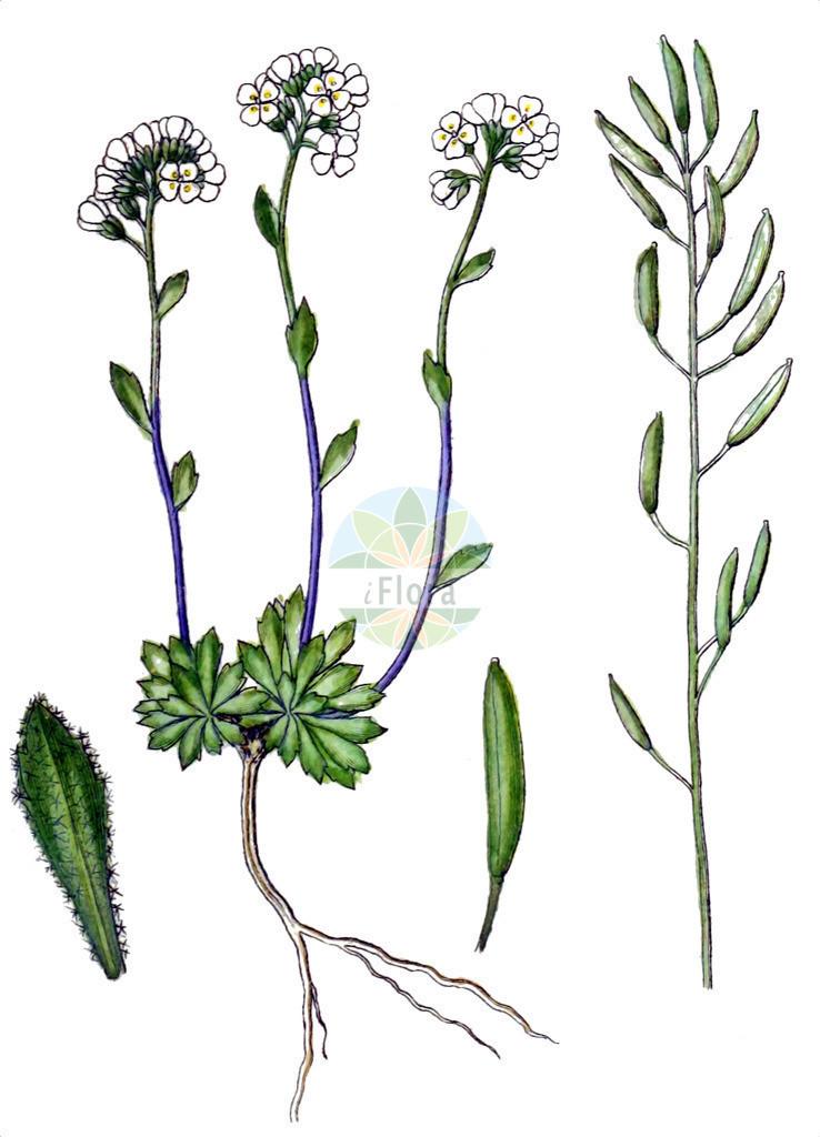 Draba siliquosa (Kaerntner Felsenbluemchen - Carinthian Whitlowgrass)   Historische Abbildung von Draba siliquosa (Kaerntner Felsenbluemchen - Carinthian Whitlowgrass). Das Bild zeigt Blatt, Bluete, Frucht und Same. ---- Historical Drawing of Draba siliquosa (Kaerntner Felsenbluemchen - Carinthian Whitlowgrass).The image is showing leaf, flower, fruit and seed.