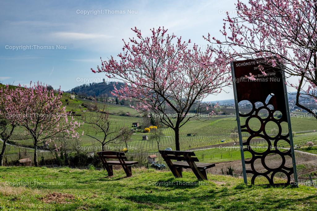 DSC_4771   Bensheim, Weinberge zwischen Bensheim und Heppenheim, es ist die schönste Jahreszeit an der Bergstraße, die Mandelblüte verzaubert, die Weinberge laden zum bei warmen Tepmeraturen zum Spaziergang ein,  Bild: Thomas Neu