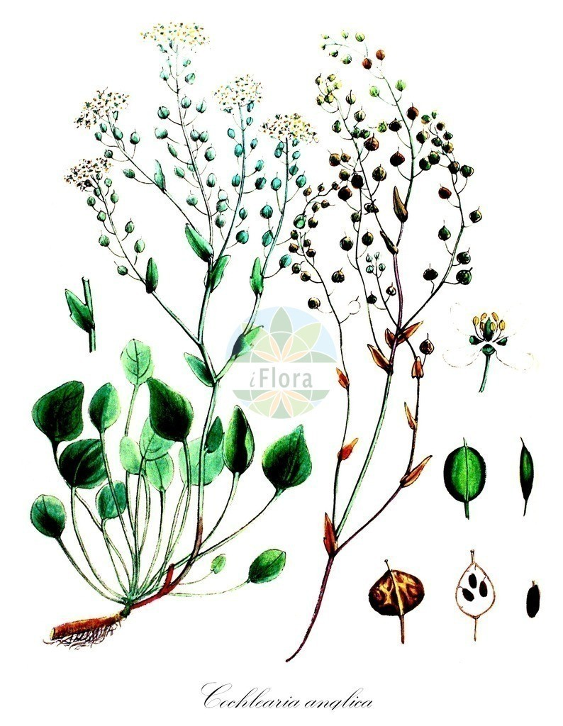 Historical drawing of Cochlearia anglica (English Scurvygrass)   Historical drawing of Cochlearia anglica (English Scurvygrass) showing leaf, flower, fruit, seed