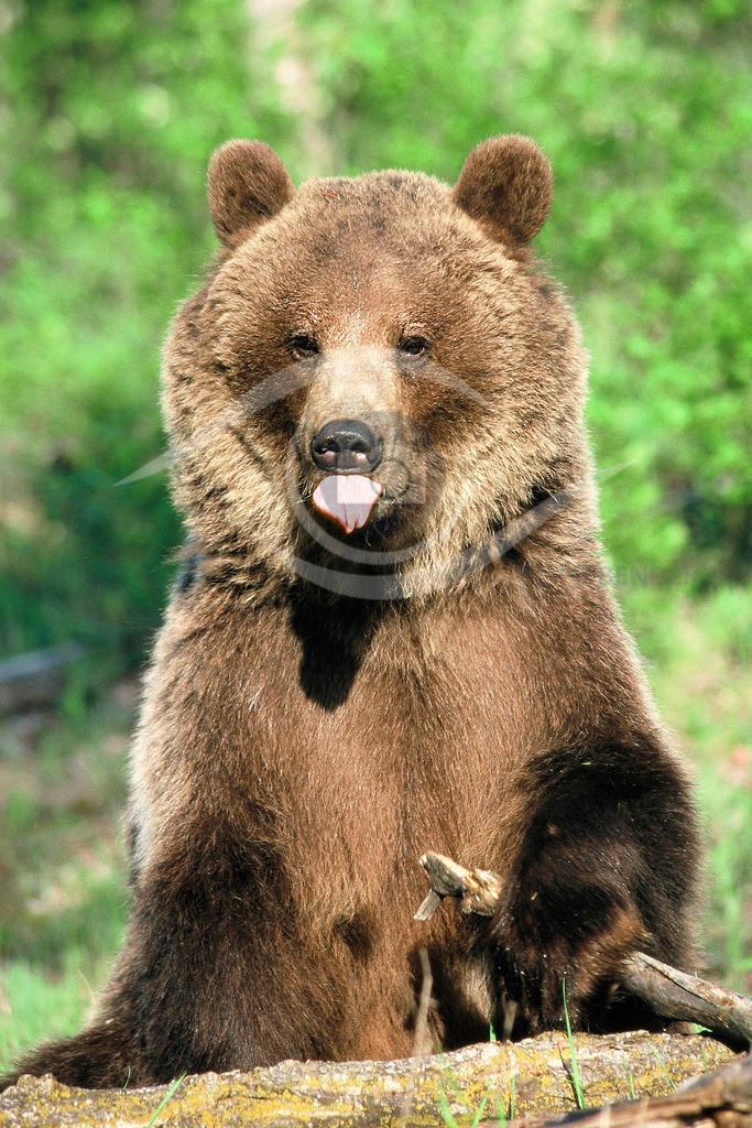 Grizzly_streckt uns die Zunge raus
