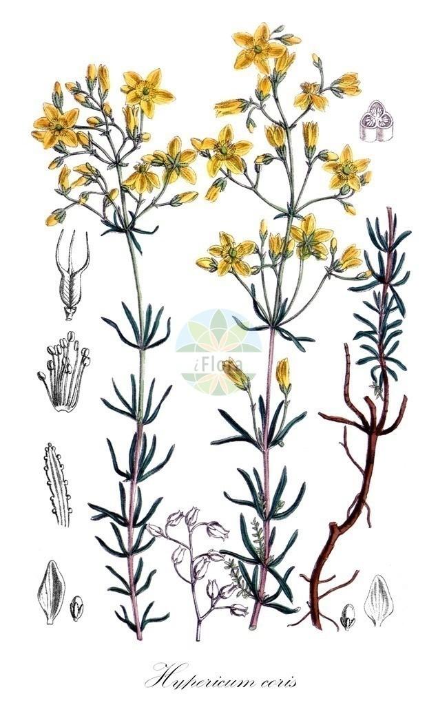 Historical drawing of Hypericum coris (St. John's Wo   Historical drawing of Hypericum coris (St. John's Wort) showing leaf, flower, fruit, s