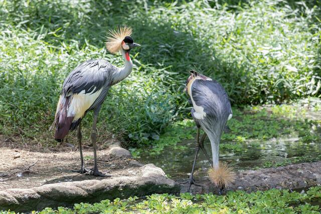 Singapur Jurong Bird Park Südafrika-Kronenkranich (Balearica regulorum)   SGP, Singapur, 20.02.2017, Singapur Jurong Bird Park Südafrika-Kronenkranich (Balearica regulorum) © 2017 Christoph Hermann, Bild-Kunst Urheber 707707, Gartenstraße 25, 70794 Filderstadt, 0711/6365685;   www.hermann-foto-design.de ; Contact: E-Mail ch@hermann-foto-design.de, fon: +49 711 636 56 85