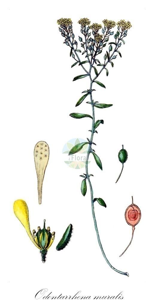 Historical drawing of Odontarrhena muralis (Silver Alison) | Historical drawing of Odontarrhena muralis (Silver Alison) showing leaf, flower, fruit, seed