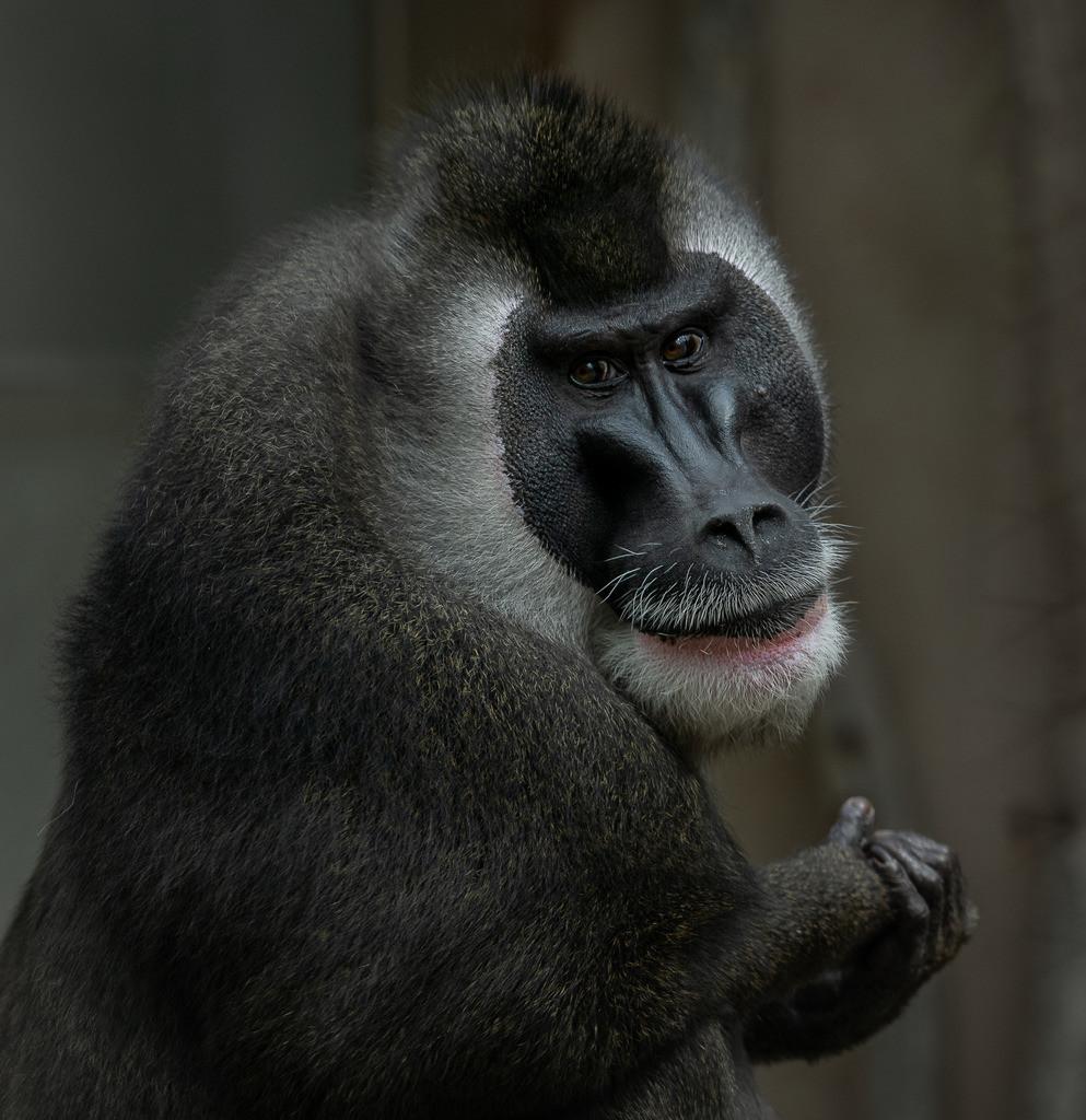 Affe Zoo 6
