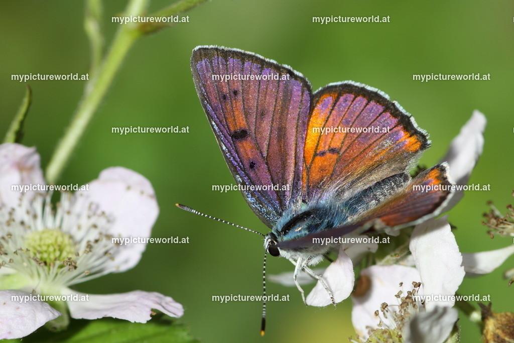 Lycaena alciphron-028