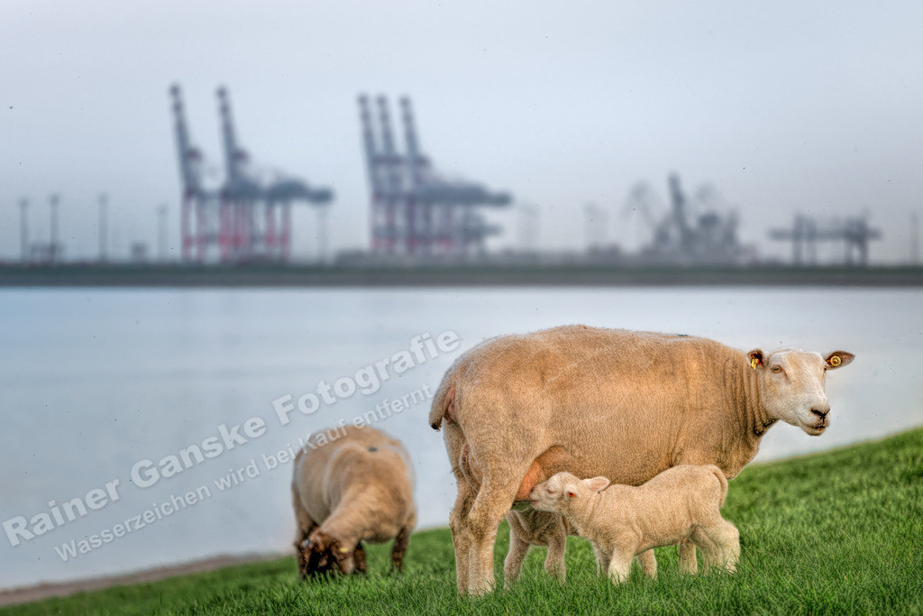 170331-21-Wilhelmshaven Schafe vor Jade Weser Port