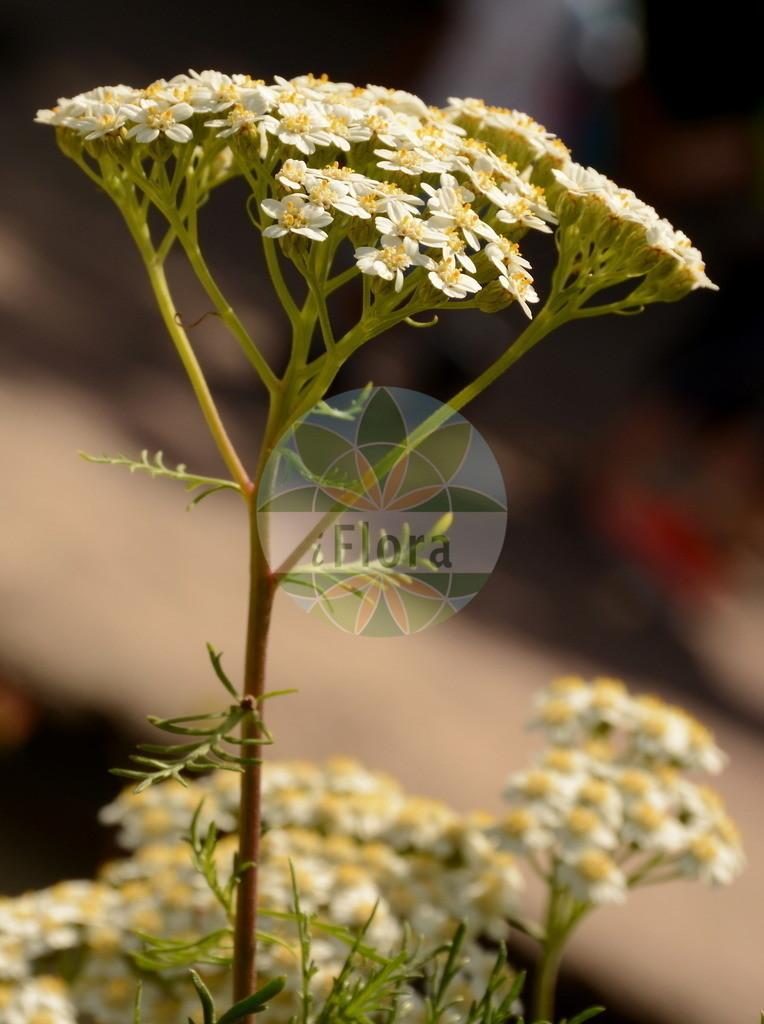 Achillea chamaemelifolia | Foto von Achillea chamaemelifolia. Das Bild zeigt Blatt und Bluete. Das Foto wurde in Lyon, Auvergne-Rhône-Alpes, Frankreich aufgenommen. ---- Photo of Achillea chamaemelifolia.The image is showing leaf and flower.The picture was taken in Lyon, Auvergne-Rhône-Alpes, France.